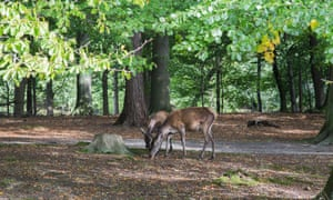 Young deer in Dyrehaven forest.