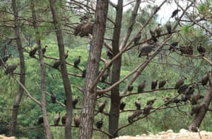 Vultures sit on branches of a tree