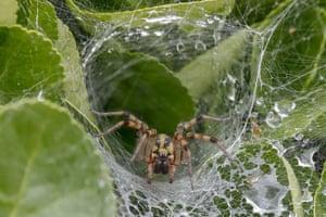 Spider (Lycosa suzukii) seen in its web near a stream in Sangju, South Korea