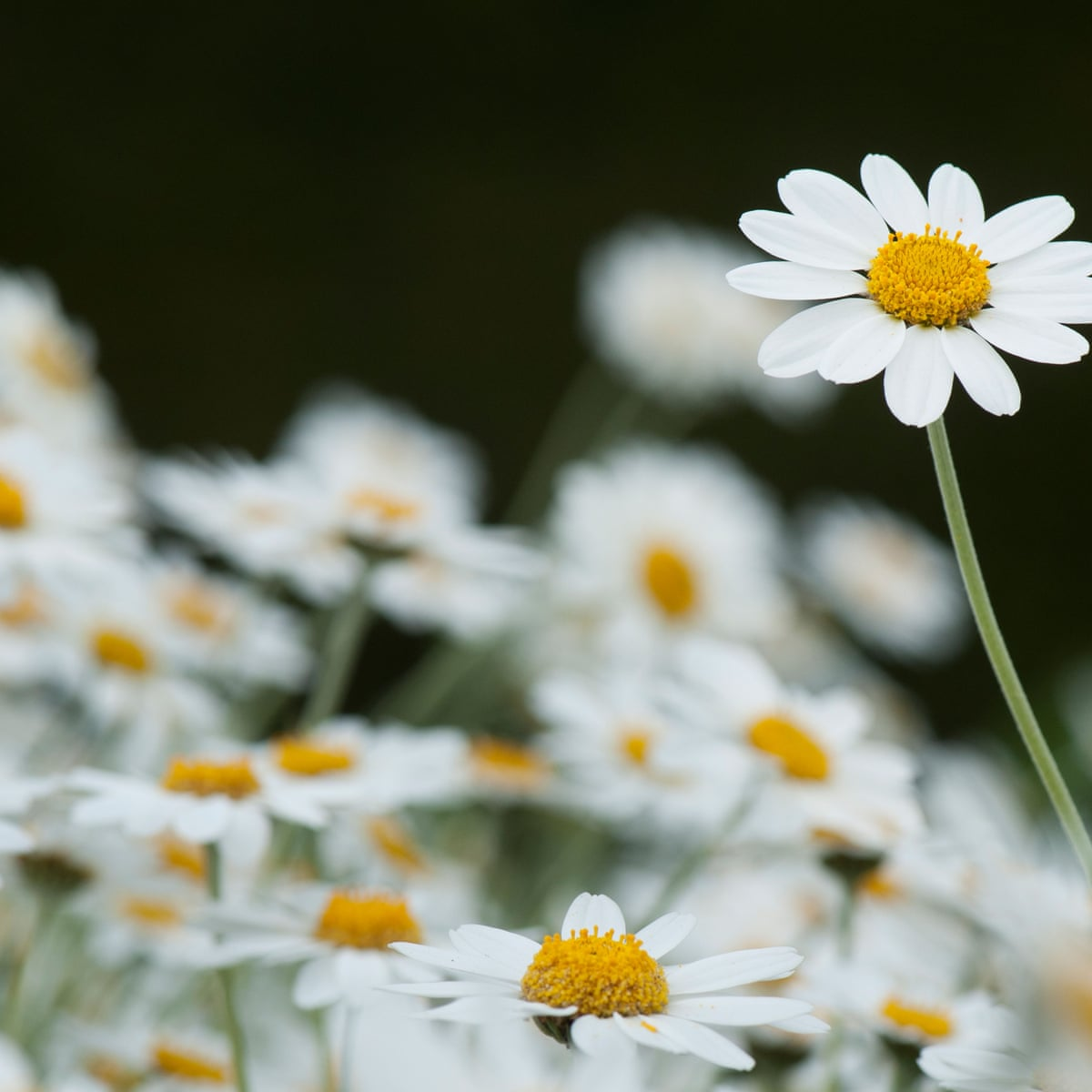 Chamomile Herb Seeds For Sale - In Stock - Ebay for Beginners