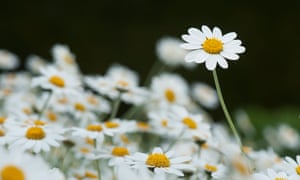 'The seeds can remain perfectly viable for years past their sell-by date and provide pretty native flowers all summer long': chamomile flowers.