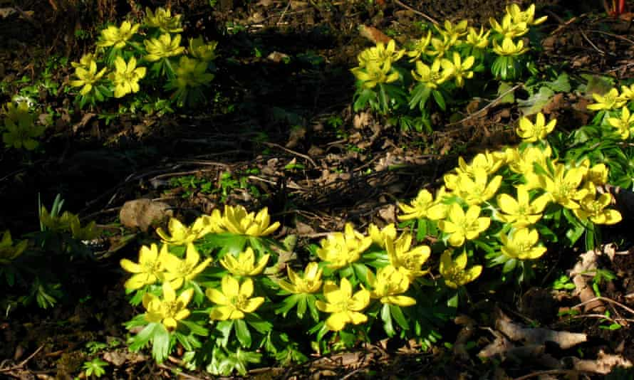 Winter aconites open their buds