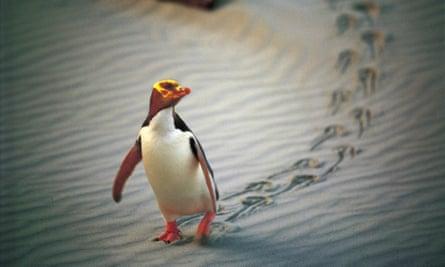 A yellow-Eyed penguin marches along a beach near Dunedin, New Zealand.