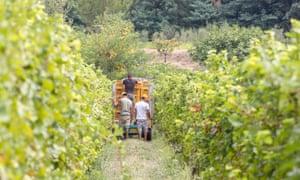 Grape harvest at Barone Pizzini, Franciacorta, Italy.