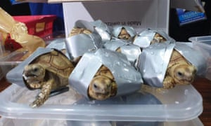 1,529 Star Tortoise, Redfoot Tortoise, Sulcata Tortoise, Red-eared Slider live species were found inside suitcases abandoned in an airport in Manila.