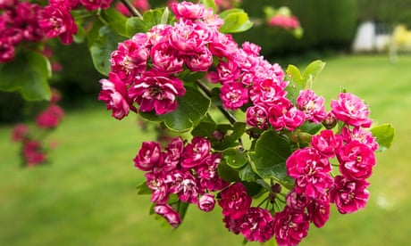 Gardening tips: plant midland hawthorn