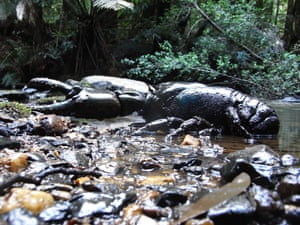 Giant freshwater lobsters are endemic to the north-west of Tasmania and can reach a weight of up to 6kg