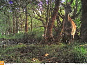 A deer sets off a motion-triggered camera in Loch Arkaig pine forest in Lochaber, Scotland