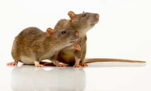 Pair of Rats (Rattus sp.) sitting side by side, side view