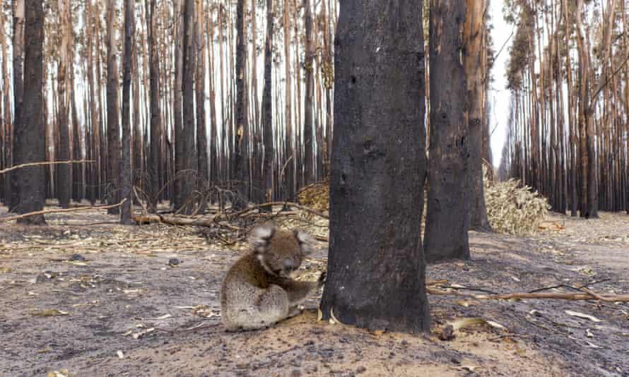 A young koala sits beside a burnt tree in January 2020 on Kangaroo Island