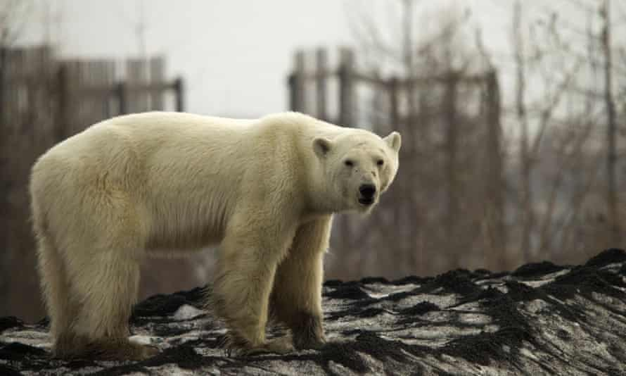 The polar bear in Norilsk. Animal experts are due to arrive in the city on Wednesday to assess its health.