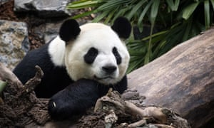 The zoo decided to send two adult giant pandas back to China amid the pandemic, but still hasn't been able to secure travel permits.