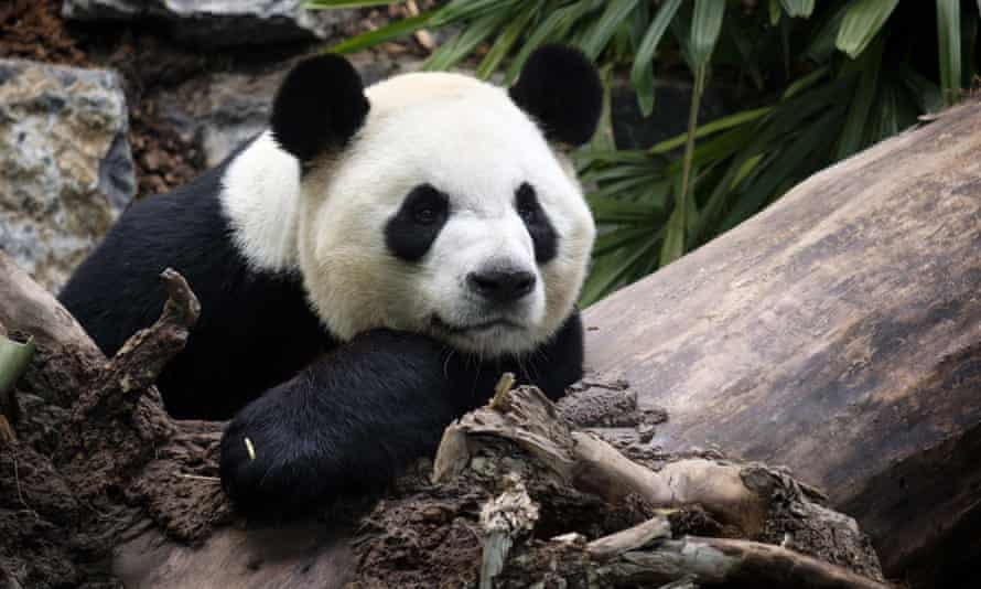 Da Mao at the Calgary Zoo on 7 May 2017. Da Mao and Er Shun arrived in Calgary in 2018 after spending five years at the Toronto Zoo.