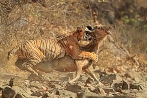 A tiger makes a kill in Ranthambore national park, Rajasthan, India