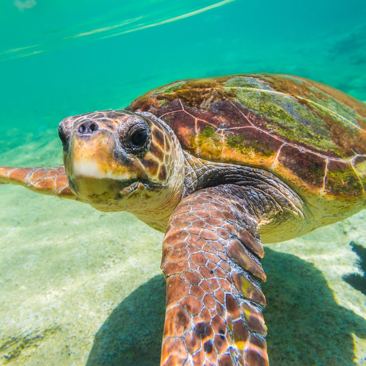 Pandemic gives breathing room to endangered sea turtles | Marine life | The  Guardian