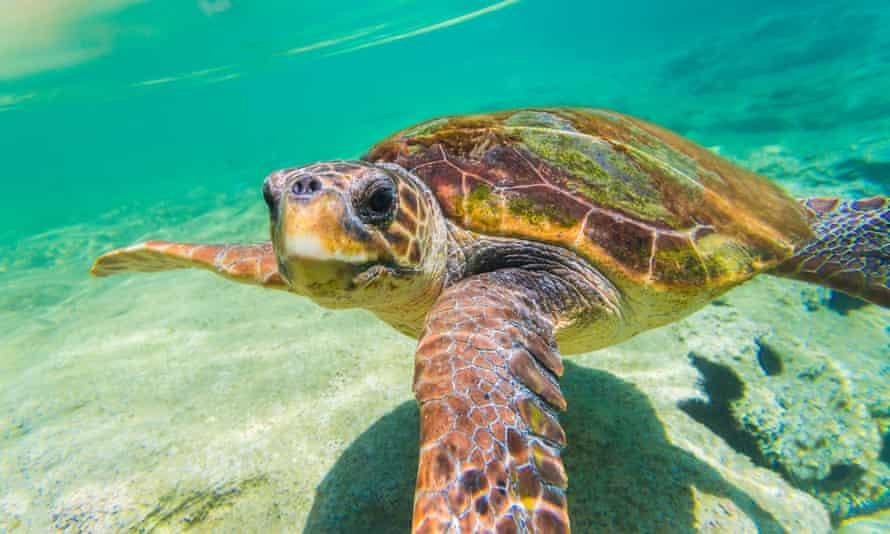 A loggerhead turtle (Caretta caretta) in Greece