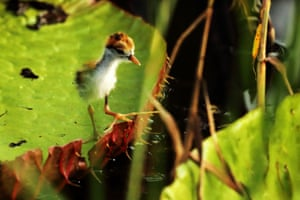 A tiny jacana chick strides confidently over Amazonian waterlilies on a lake next to the Rewa river, Guyana