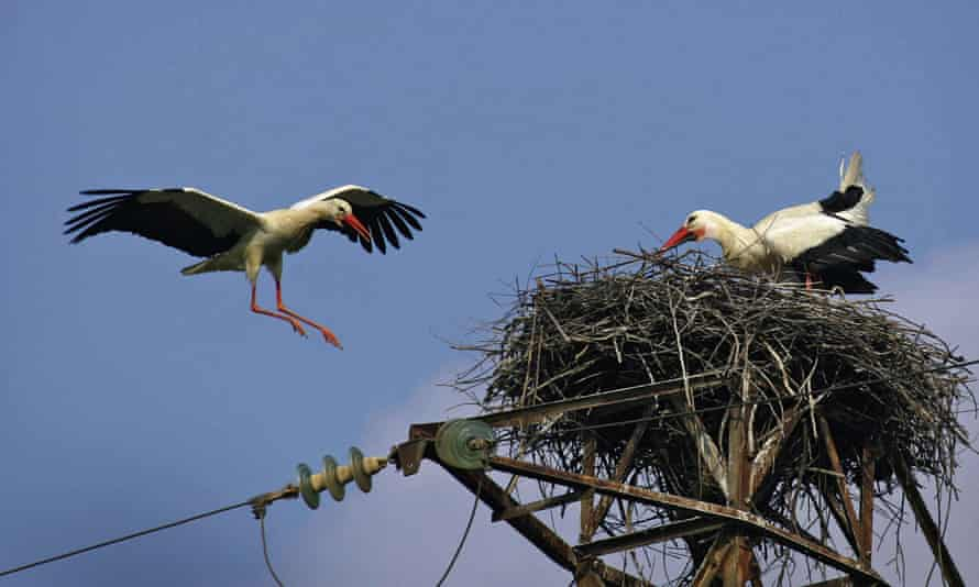 Storks nesting on an electrical post in Spain