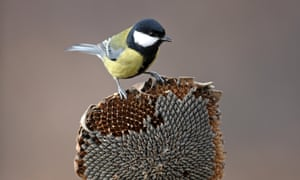 Seedy supper: a great tit enjoying some sunflower seeds.