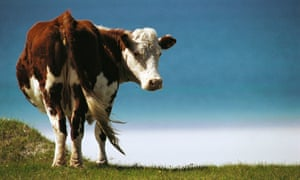 Cow looking back at camera