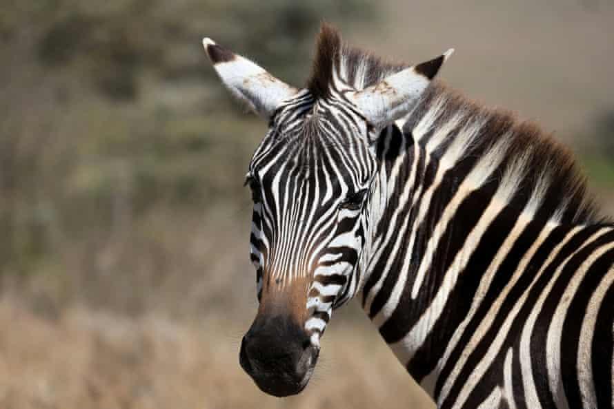 A zebra in the Nairobi national park, Kenya 6 January 2021.