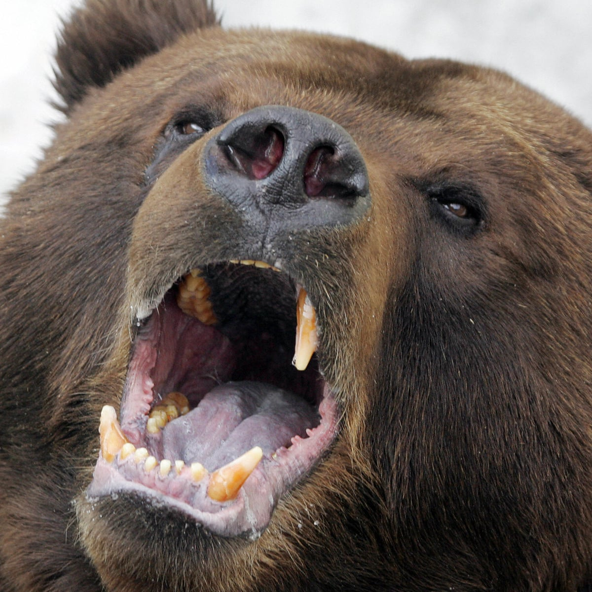 Russian town besieged by hungry bears | Russia | The Guardian