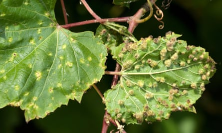 Grape leaves damaged by phylloxera are seen