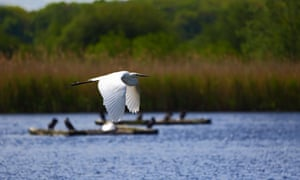 Great white egret in flight at the RSPB's Ham Wall wetland reserve