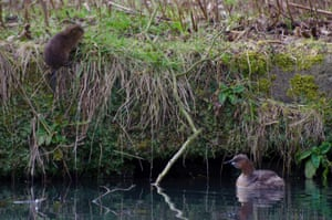 A water vole and a little grebe on Cromford canal