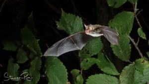 Natterer's Bat by Steven Roe