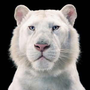A snow white Bengal tiger. Shot against a black background, the animal's gaze penetrates through you, compelling you to stare back