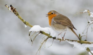 European robin (<em>Erithacus rubecula</em>). Many bird species are also on decline in the UK.