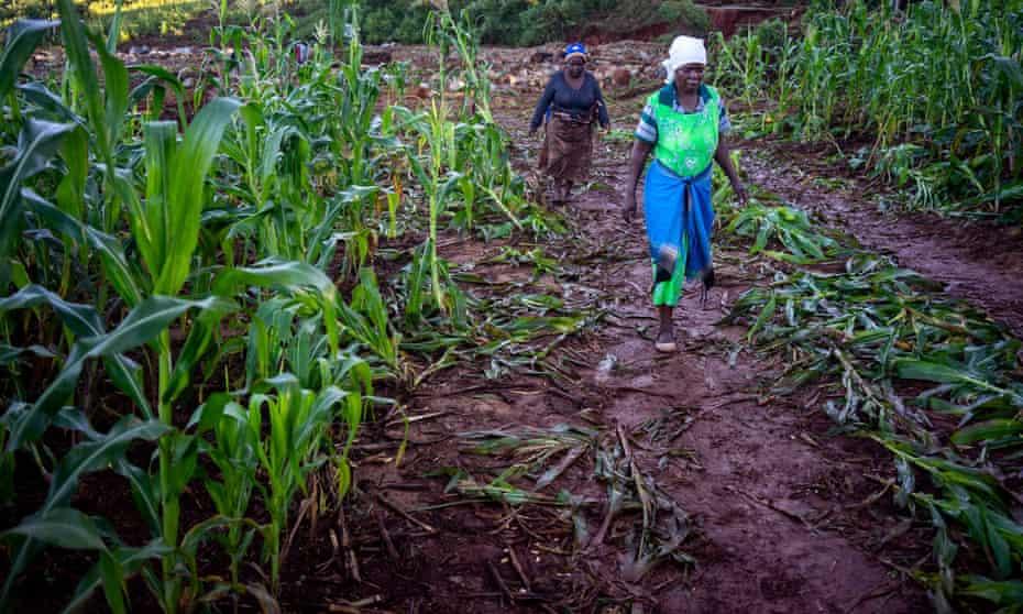A field of maize devastated by Cyclone Idai, near Ngangu, in Chimanimani