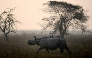 A one horned rhino roams during the rhino census in the Pobitora wildlife sanctuary in Assam, India