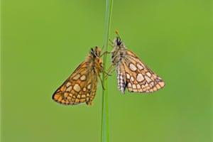 English-born chequered skipper butterflies
