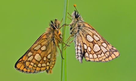 Chequered skipper butterflies.