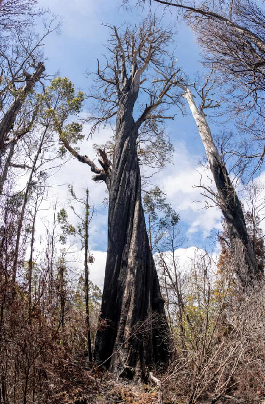 A burnt eucalyptus regnans in Tasmania after the summer 2019 bushfires.