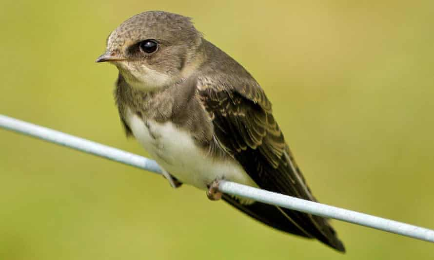 A young sand martin. The gregarious <em>Riparia riparia</em> raises hatchlings in nest chambers dug into river banks or cliffs.