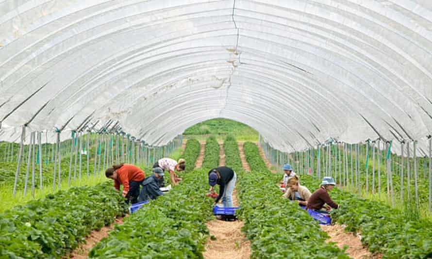 Picking strawberries in Shropshire