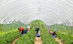 Farm workers picking strawberries