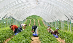 Eastern European workers picking strawberries inside a polytunnel on a farm in Shropshire