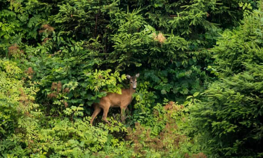 A deer stands in a garden in Anger, Austria