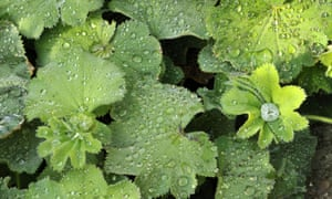 All hail the magical power of lady's mantle | Life and style