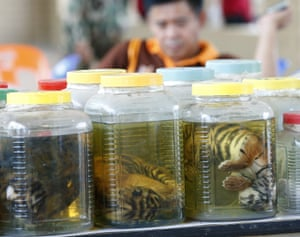 Thai wildlife officials display jars of dead tiger cubs found during a raid at the Tiger Temple in Kanchanaburi Province, Thailand, 3 June