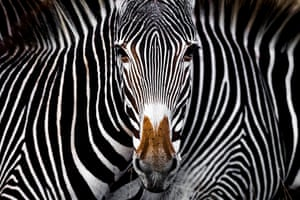 The Grevy's Illusion by Yaron Schmid, USA