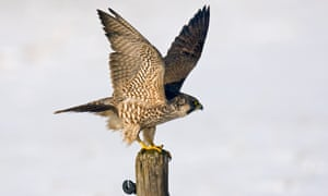 young peregrine falcon taking off to hunt