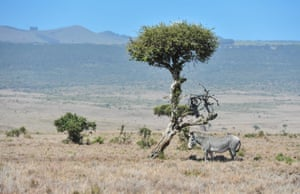 A grevy's zebra, an endangered species, stands beside a tree at northern Kenya's Lewa wildlife Cconservancy