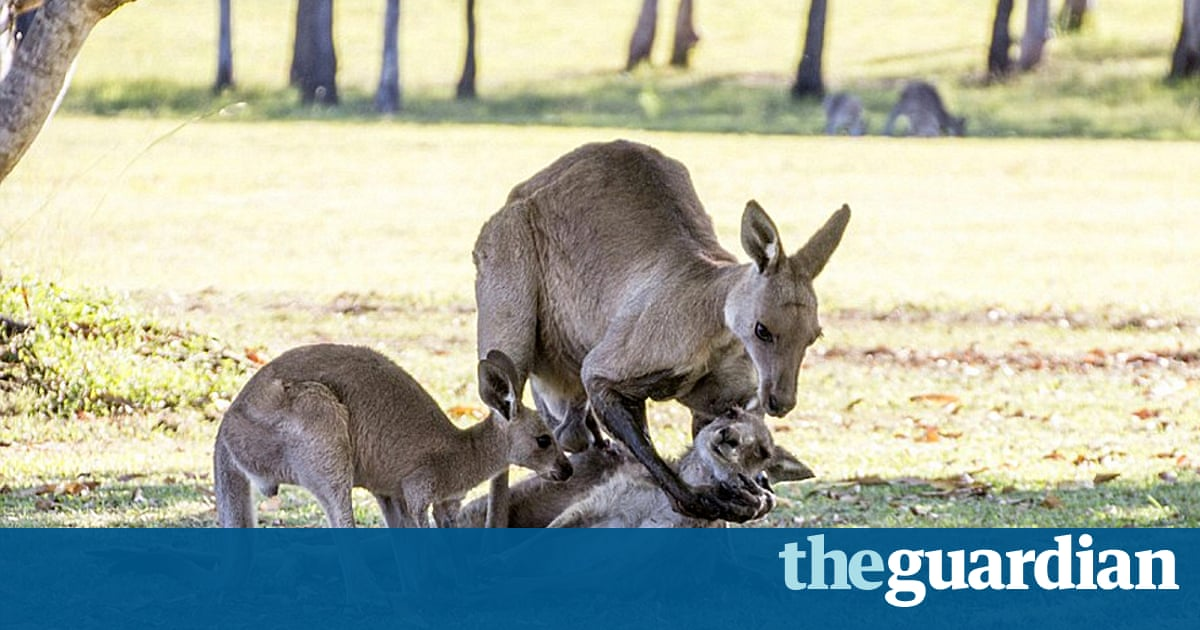 Kangaroo Love: the movie – Disney needs to hop on it fast | Peter Bradshaw | Opinion | The Guardian
