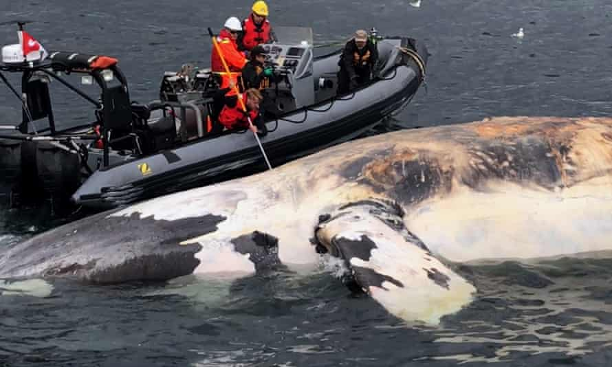 Researchers examine a dead North Atlantic right whale in the gulf of Saint Lawrence in Canada