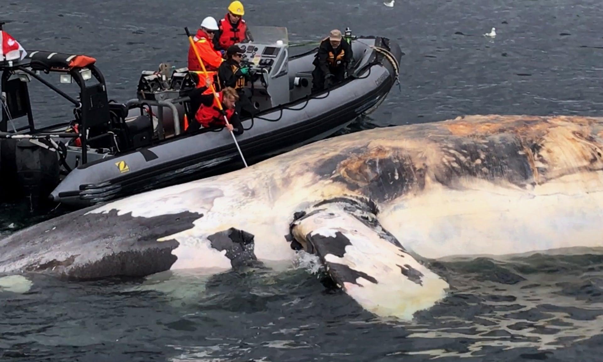 Os pesquisadores examinam uma baleia-franca-do-atlântico-norte morta no Golfo de São Lourenço, no Canadá. Fotografia: HO / AP / The Guardian